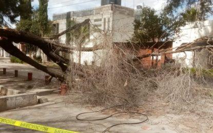 Se registra caída de árbol por humedad en la Alameda de Jerez