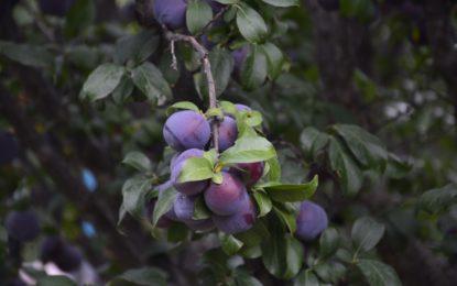 Continúa el posicionamiento de fruta jerezana en el mercado nacional